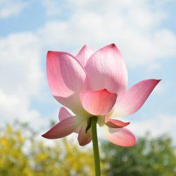 lotus-746703_1920