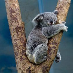 koala-1100469_640